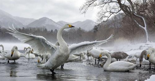 Love The Wild Swan